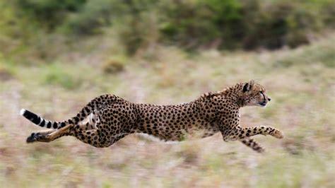 geparden jagen fahrlaessige familie mit kindern  niederlaendischem safaripark
