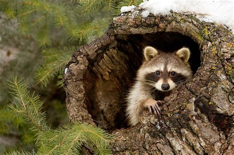 Nature Animals Wallpaper - nature animals raccoons wallpapers hd desktop and