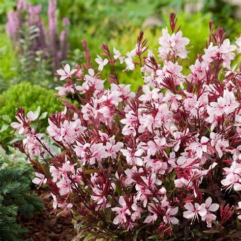 gf gaura images  pinterest garden plants