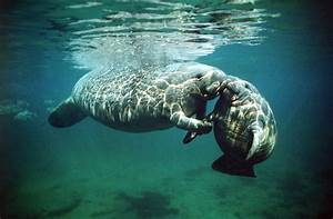 Conservative Group Sues To Strip Manatees Of 'Endangered ...