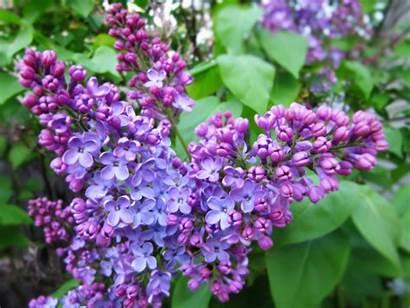 Lilac Syringa Spring Flowers Desktop Wallpapers Blossoms