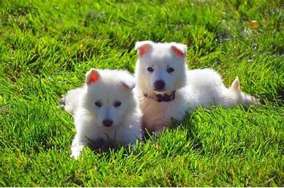 Polar Bear Dog Breed Polarbear Dogs Breeds