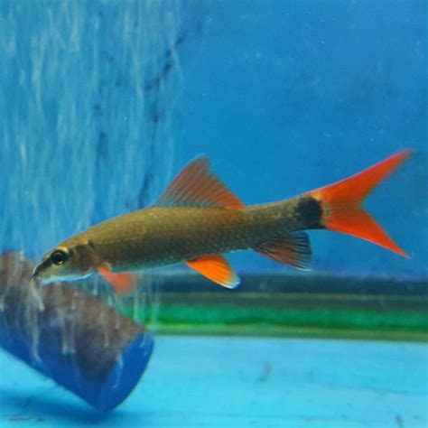 can sharks see color best 25 freshwater aquarium sharks ideas on