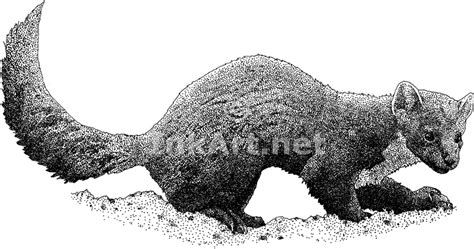 Pine Or American Marten (martes Americana) Line Art And