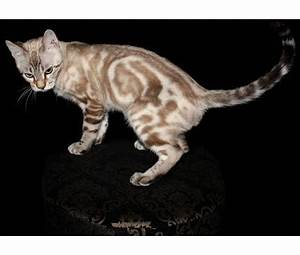 Snow Marble Bengal kitten | Favorite Breeds | Pinterest ...