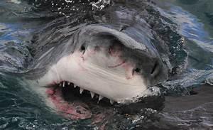 Blog del Paso Noroeste Avistar el Gran Tiburón Blanco