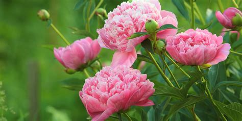peonies growing season top 28 peony growing season sorbet peony the growing season for peonies home guides sf