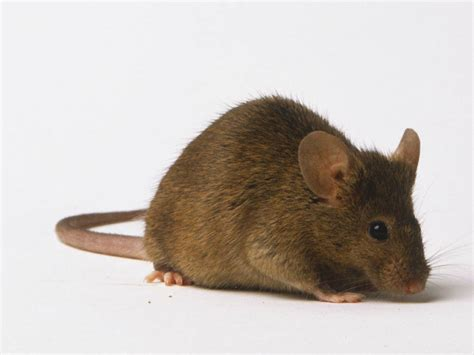 Murine  Like A Mouserat  Animal Adjectives