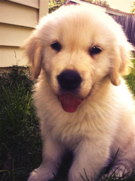 Best 25 Baby Golden Retrievers Ideas On Pinterest