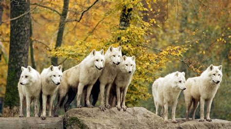 branco  lupi bianchi animali sfondi desktop gratis
