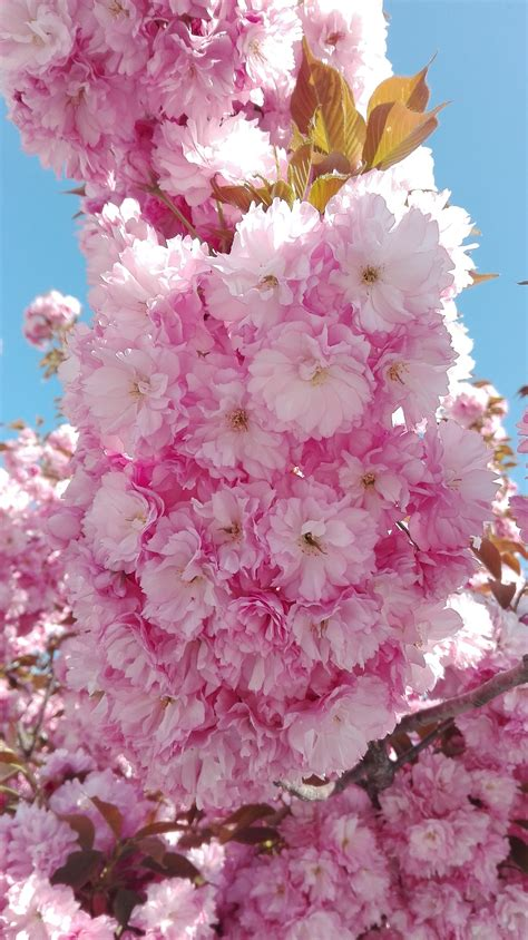 Free Images : branch petal food produce cherry blossom