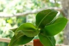 mini bananen pflanze bananenbaum bl 252 te 187 so f 246 rdern sie das bl 252 hen