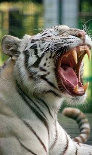Paradise Wildlife Park: White Tiger   White tiger, Tiger ...