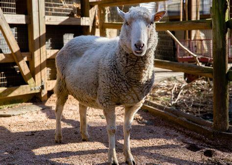 sheep native gulf coast zoo atlanta read