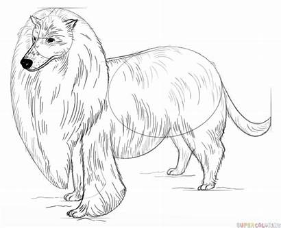 Draw Rough Collie Drawing Step Drawings Line