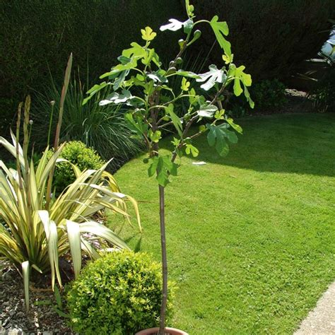 fig tree growing guide suttons gardening grow how