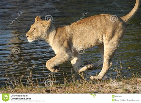 Lioness Cub Running By Lake Royalty Free Stock Photo