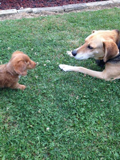 beagle shepherd mix ideas  pinterest