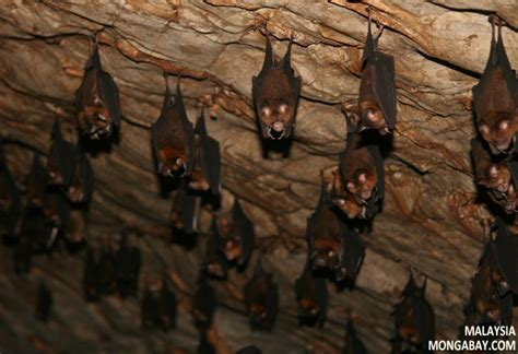 rainforest bats