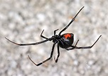 The True Widow Spiders | The False Widow Spider