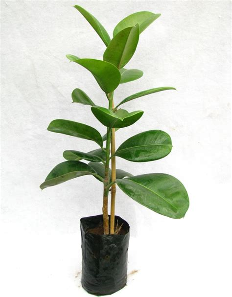 rubber plant buy rubber plant online at best prices in india chhajedgarden com