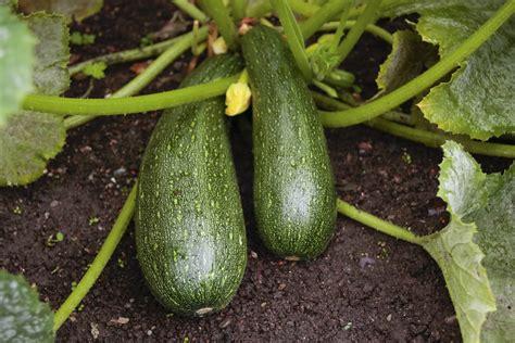 come coltivare le in vaso come coltivare le zucchine in vaso sul balcone non sprecare