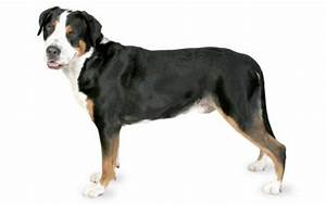 Greater Swiss Mountain Dog - Canna-Pet®