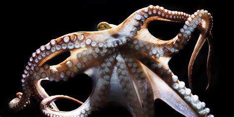 octopus movement study reveals strange  animal