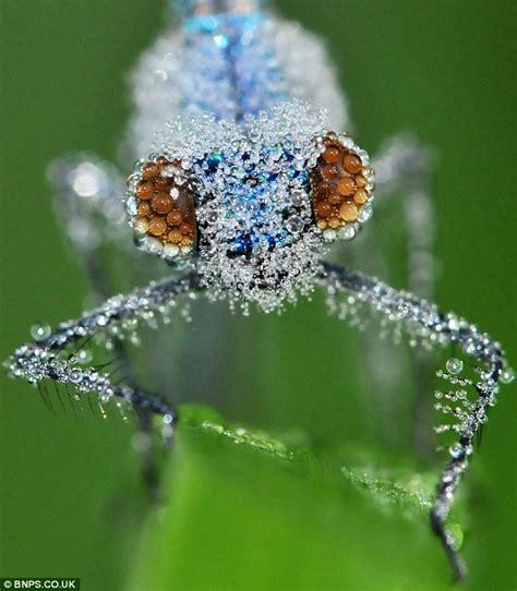 Dew Covered Damselflies Look Like Jewels In The Morning