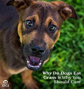 why do puppies eat poop