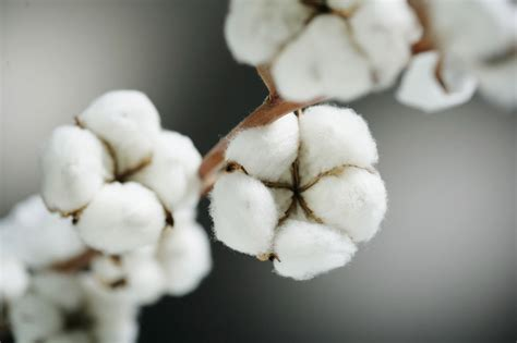 cotton plant natural australian fibers industry needs applaud innovation within awards paramedics woes nsw uniform solution getfarming za origin