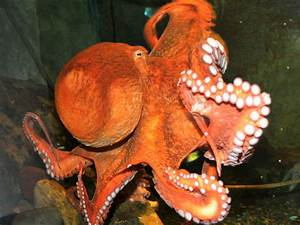North Pacific Giant Octopus Catching Sharkjpg Pictures