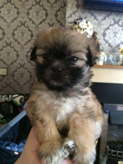 Pug X Maltese Puppies For Sale Brierley Hill West Midlands Petshomes
