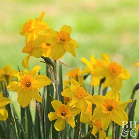daffodil jonquil hybrids