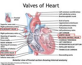 Backflow Heart-Valve Blood