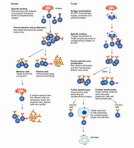Senior Biology  The Specific Immune Response