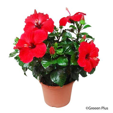 hibiscus adonicus touffe pot de diam 232 tre 21 cm plantes fleuries d int 233 rieur jardinerie truffaut