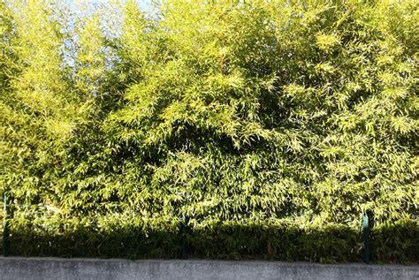 bambou non traçant pour haie choisir une haie de bambou comme brise vue