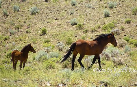 wild mustangs horses carson city june  images