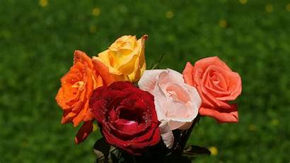 Roses Nature Widescreen Desktop Resolution Wallpapers Rose