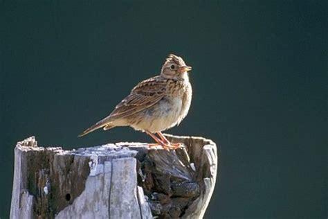 Latvijā atgriezušies pirmie pavasara putni
