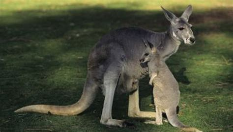 kinds  colors  kangaroos  animals momme
