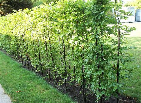 hainbuchenhecken weissbuche carpinus betulus garden