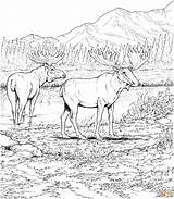 Moose Coloring Printable Elk Animal Deers Deer Animals Wildlife Ausmalbilder Elch Malvorlagen Konabeun Europa Burgess Children Sheets Drawing Carolinaaac Worlds sketch template