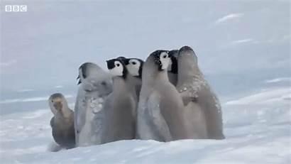 Penguin Emperor Chicks Fluffy Circle Bird Against