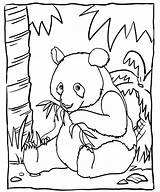 Panda Coloring Bamboo Eating Sheet Mitraland sketch template