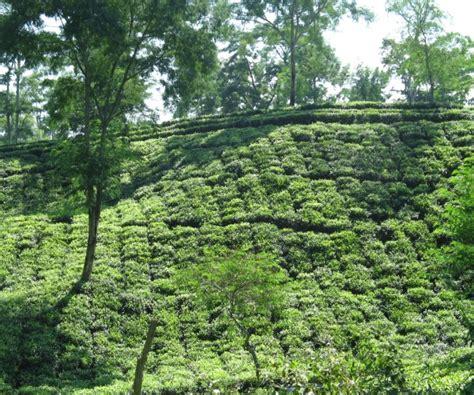beautiful tea garden picture sahpat teas