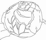 Cabbage Coloring Pages sketch template