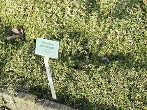 Garten Im März : botanischer garten berlin dahlem 719 cerastium tomentosum ~ Lizthompson.info Haus und Dekorationen