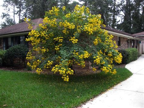 tree with yellow flowers the yellow flowering tree is a cassia tree flowering trees pinterest flowering trees
